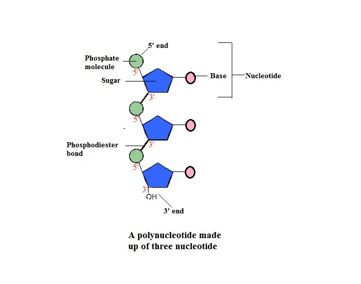 Draw A Short Segment Of A Single Polynucleotide Strand