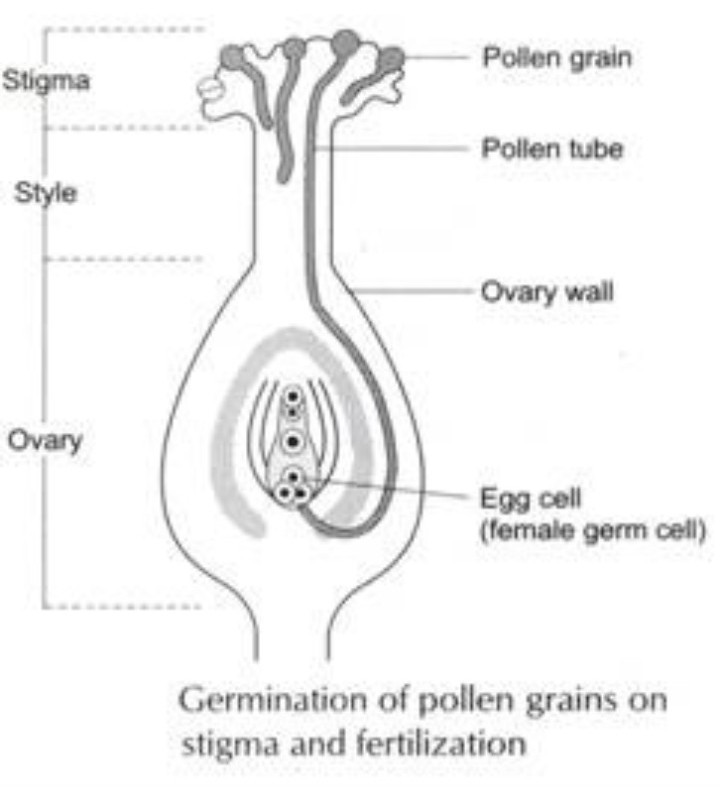 describe the process of fertilization in a flower with a suitableFlower Diagram Grain #5