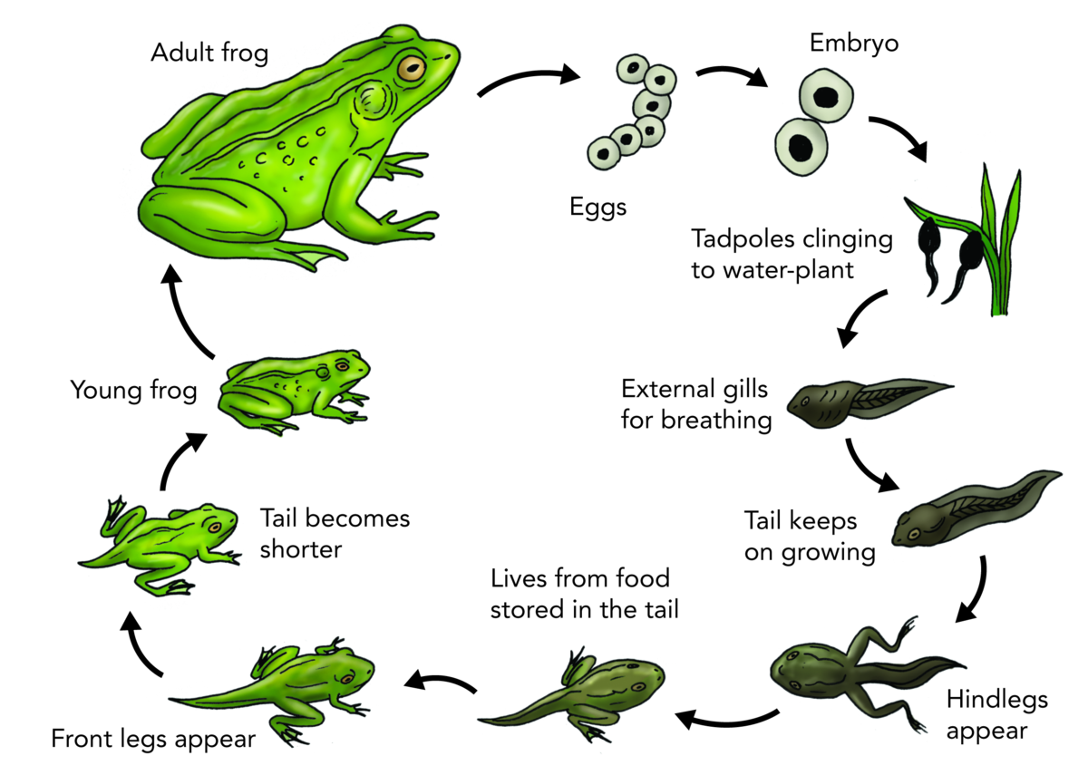 what are the stages of frog development