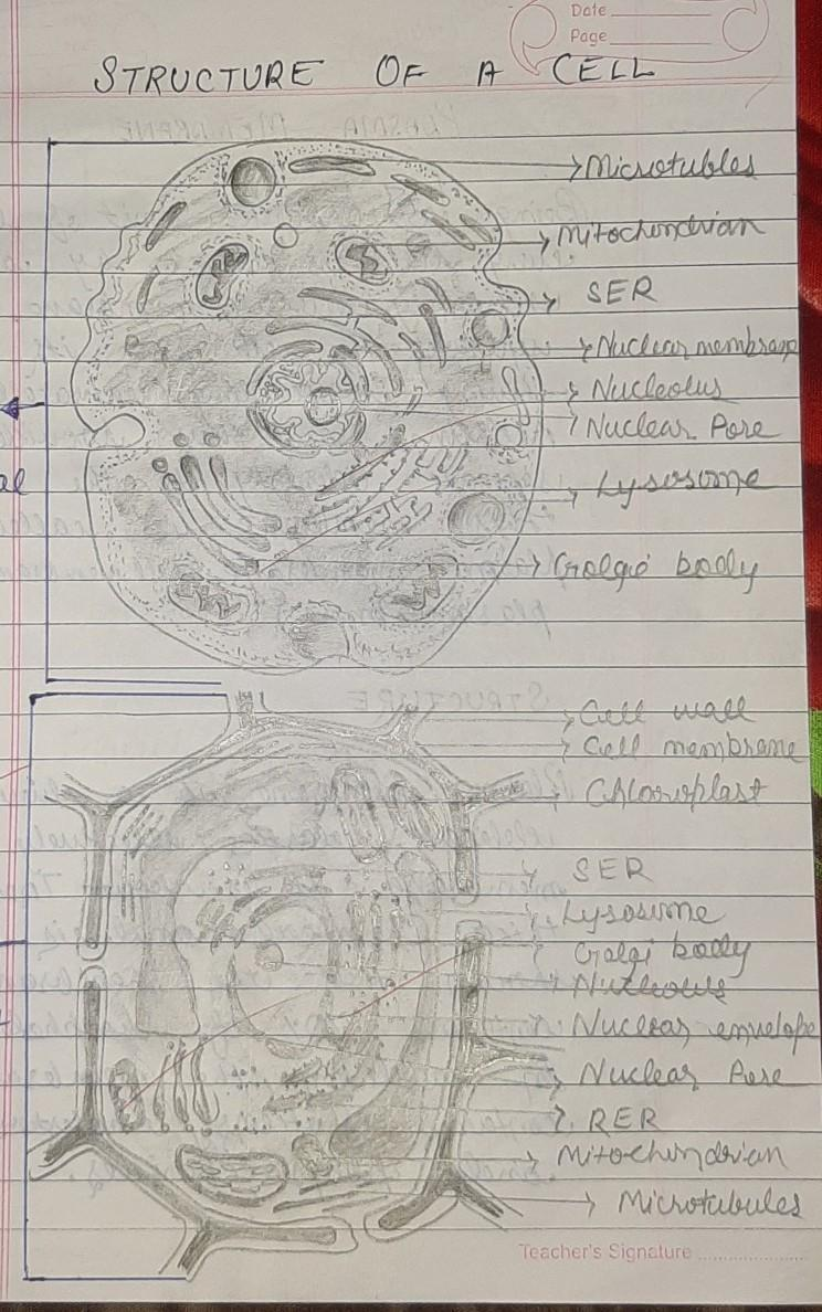 Cell Diagram This Article Provides A Labeled Animal Cell Diagram