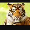 tigerslover