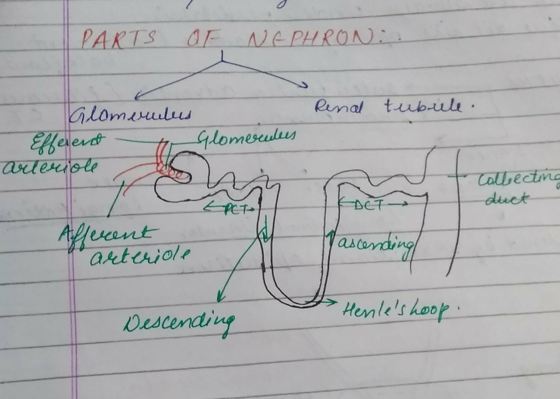 draw the structure of nephron - Brainly in