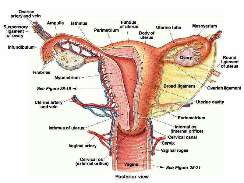 Draw A Labelled Diagram To Explain The Female Reproductive System