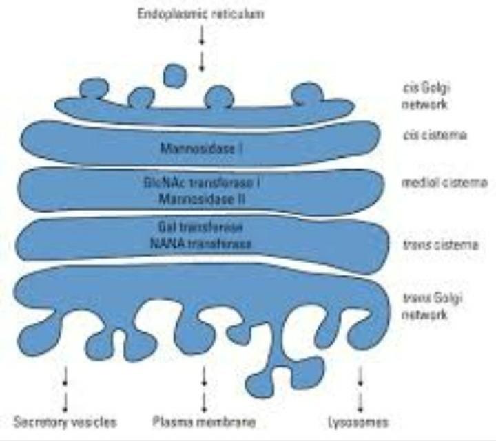 chemical composition of endoplasmic reticulum