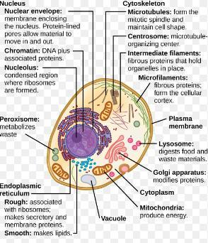 Draw a labelled diagram of animal cell . Describe the ...