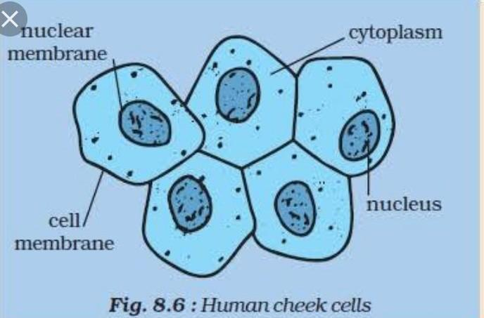 draw a neat diagram of human cheek cell and label its ...