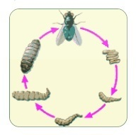 Explain the process of metamorphosis in housefly by taking help from download jpg ccuart Gallery