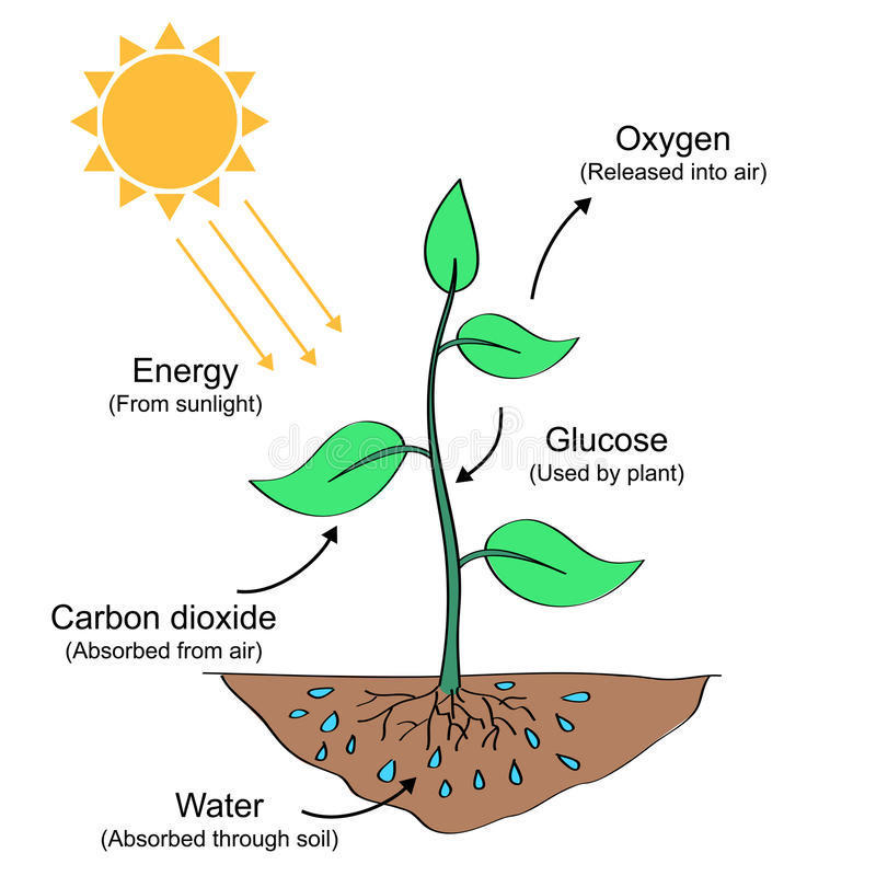 Draw A Diagram And Explain In Details The Process Of Photosynthesis