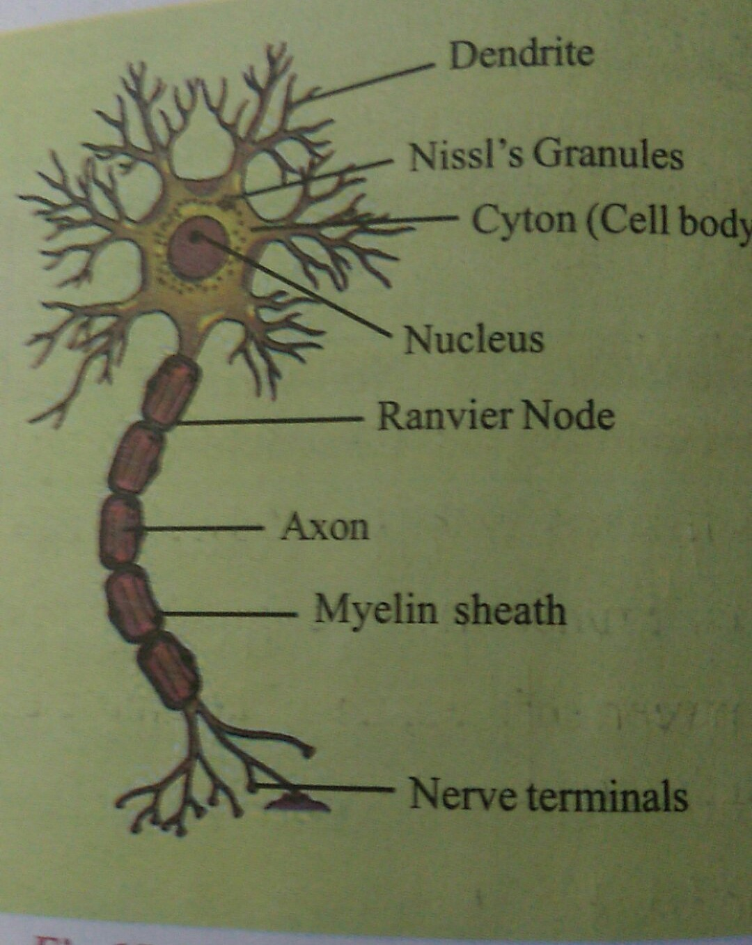 Draw a labelled diagram of a neuron brainly download jpg ccuart Image collections