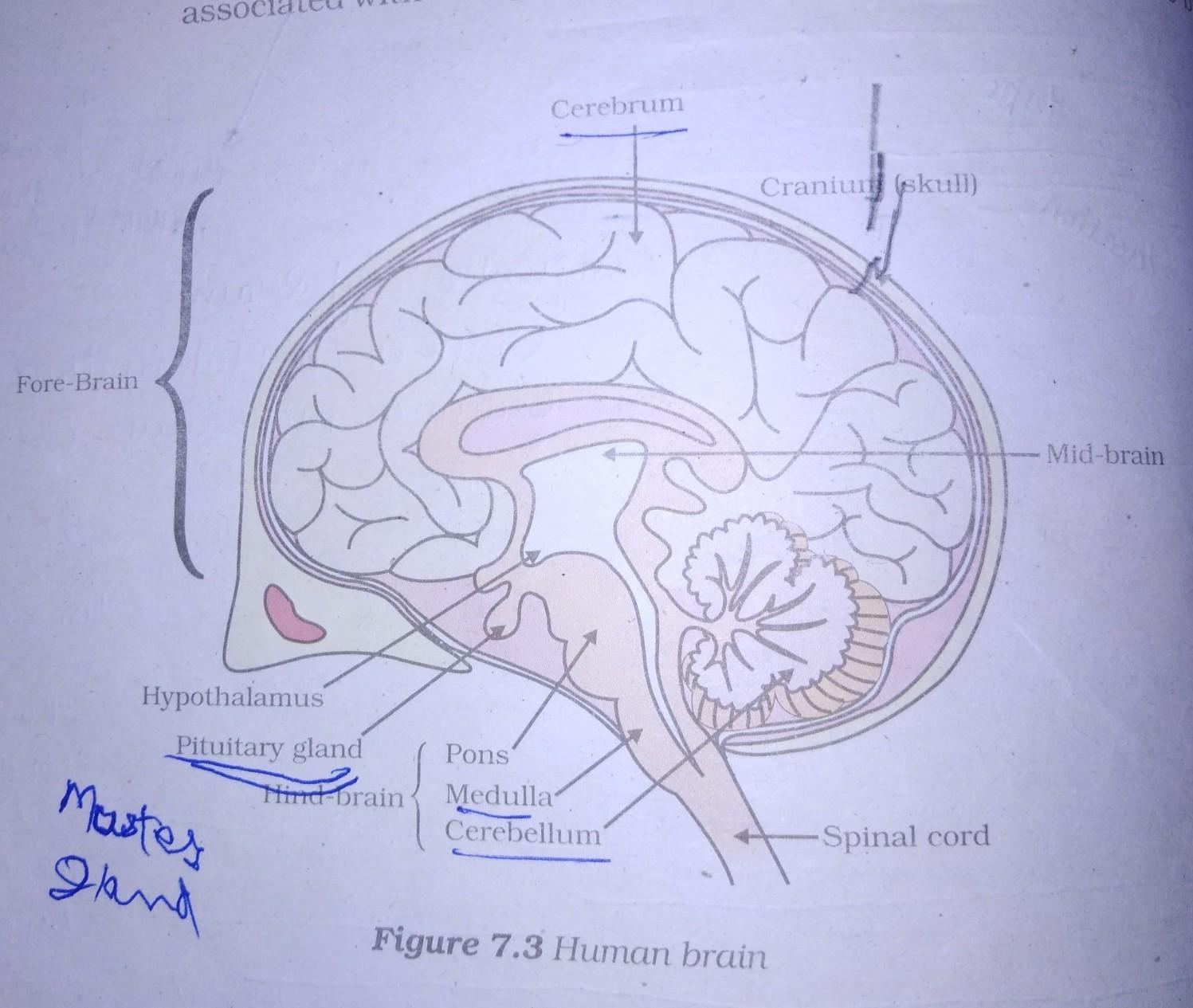 brain diagram based on class 10 - Brainly in