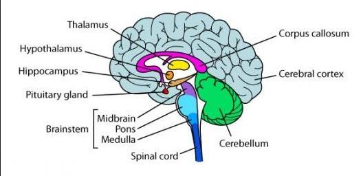 Brain Diagram Easy To Draw ~ DIAGRAM