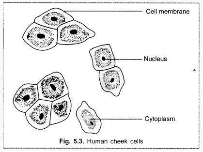 Draw The Human Cheek Cell With Correct Labelling Brainly
