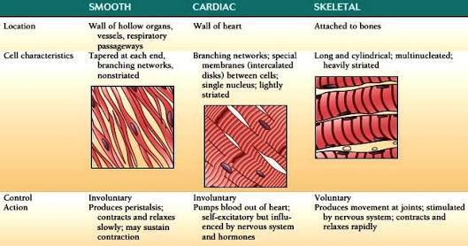 Tabulate the difference between Skeletal muscle, simple ...