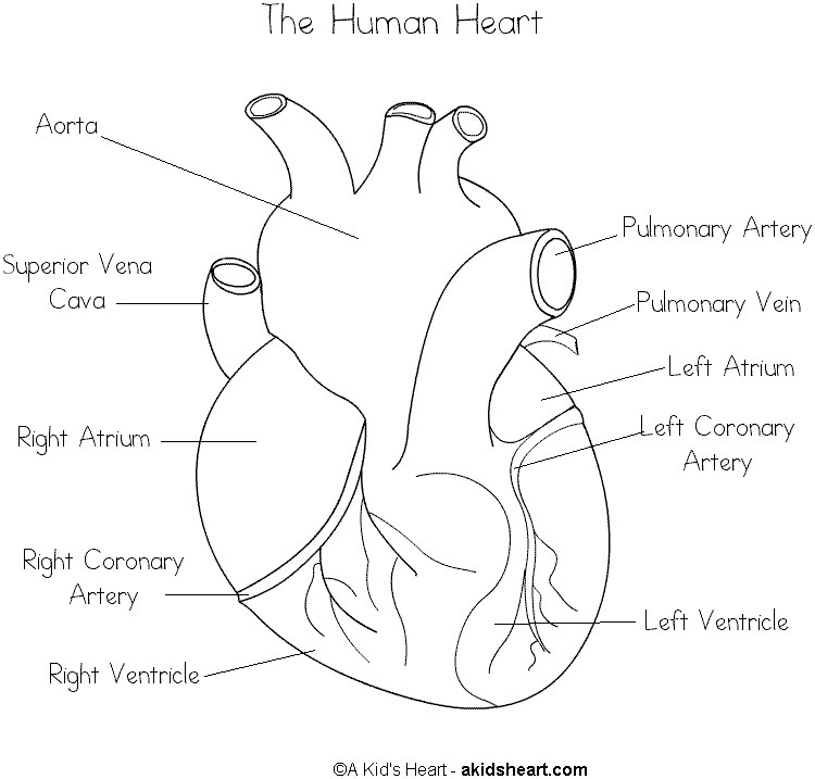simple diagram of heart with labelling. Black Bedroom Furniture Sets. Home Design Ideas