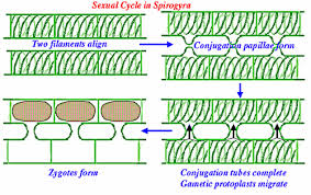 spirogyra fragmentation diagram - Brainly.in