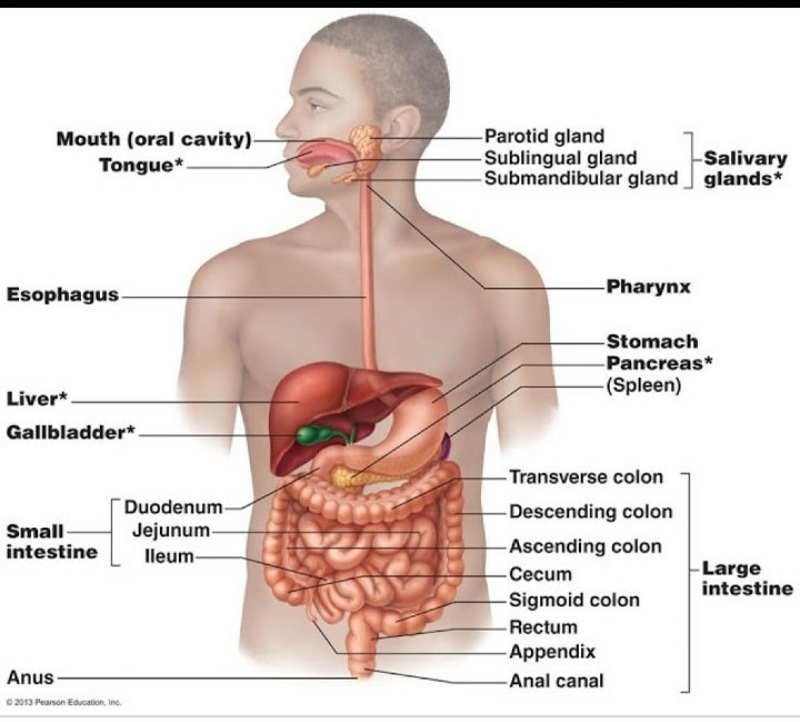 Where Is The Liver Located In The Female Body Brainly
