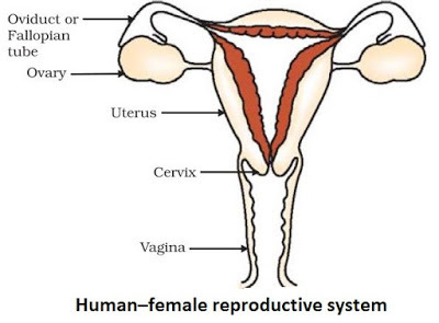 Easy steps to draw human female reproductive system class 10 ncert download jpg ccuart Image collections