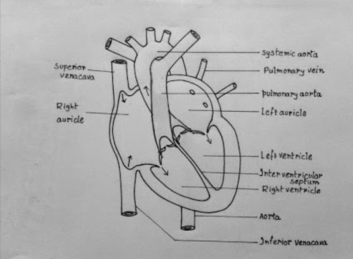 Draw neat and labelled diagram of human heart and describe ...