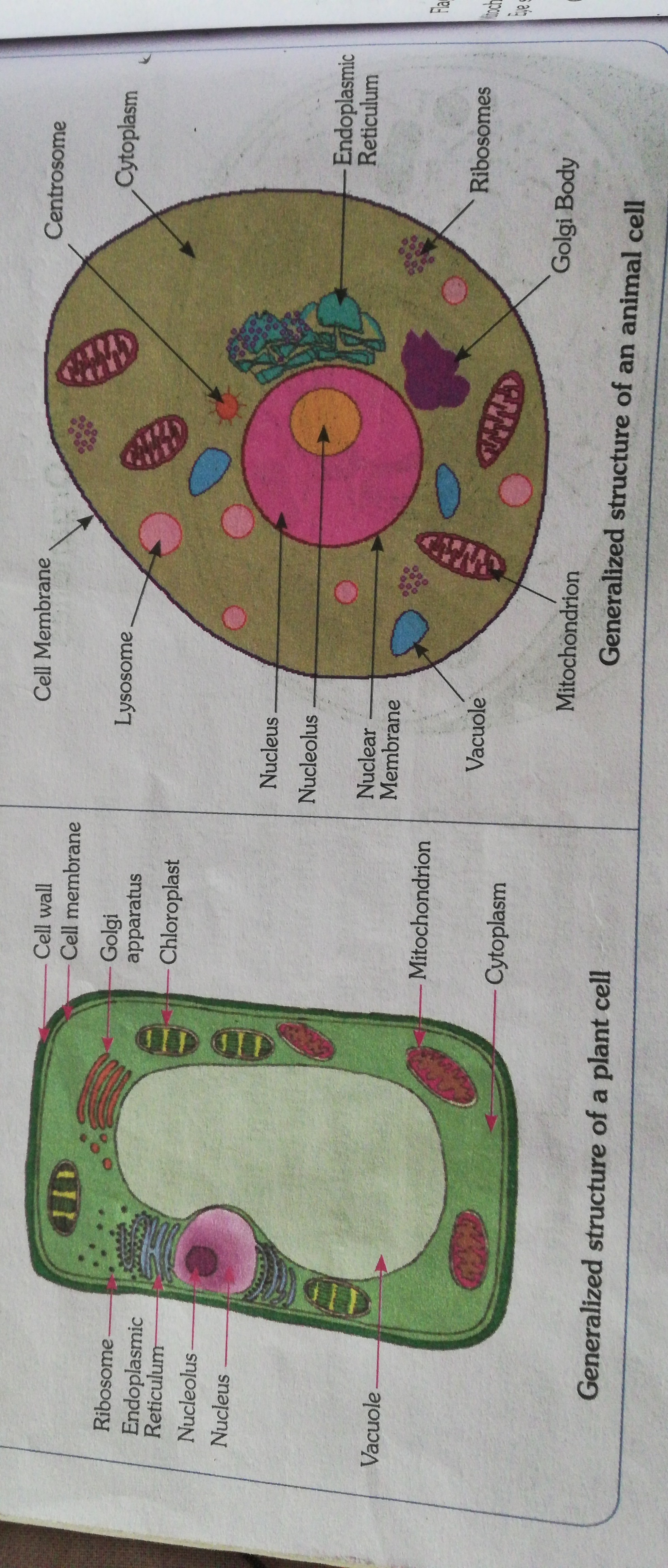 draw a labelled diagram of animal cell and plant cell ...
