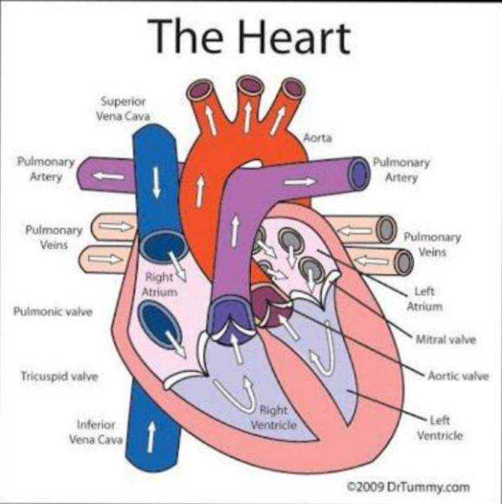 Easy Diagram Heart Class 10th Brainly In