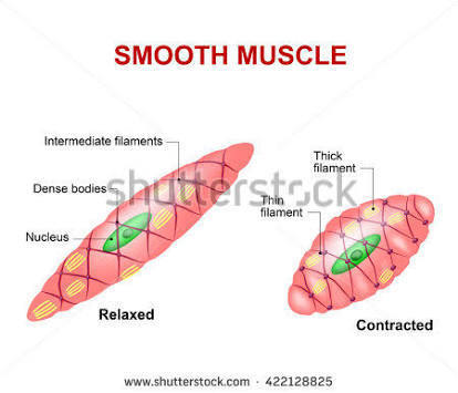 diagram of smooth muscle cell - Brainly.in