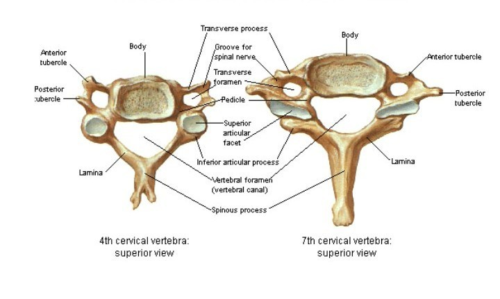 How We Can Say That Our Cervical Vertebrae Are Bifid Except The 7th