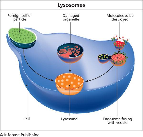 Diagram of lysosomes -