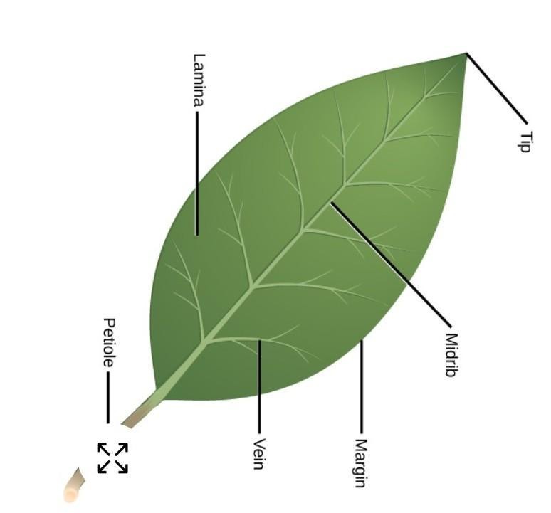 Parts Of A Leaf Labelled Diagram   Leafandtrees.org