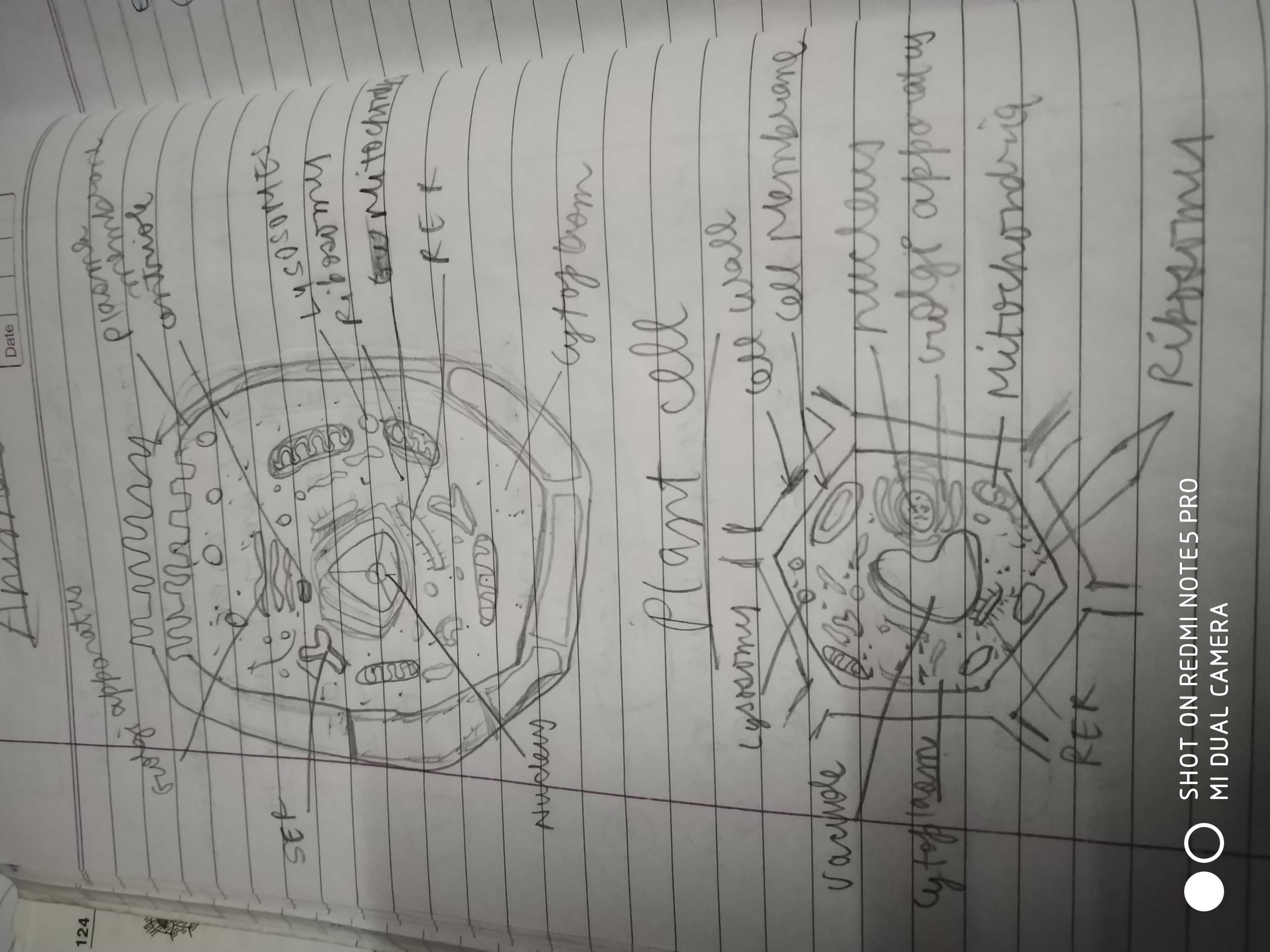 Draw A Well Labelled Diagram Of Animal And Plant Cell Brainly In