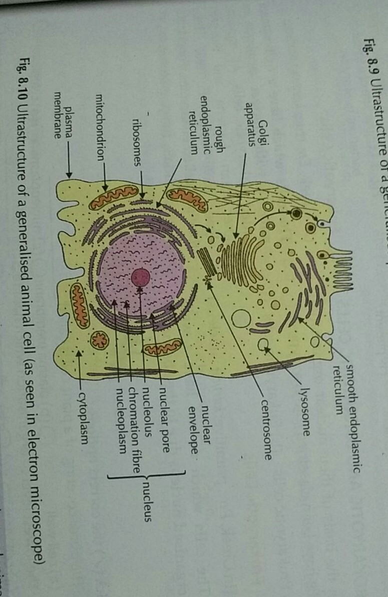 Q14 draw a large diagram of an animal cell as seen through an download jpg ccuart Image collections