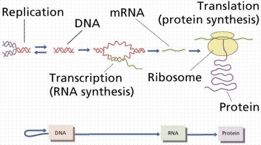Protein Synthesis Flow Chart Keninamas