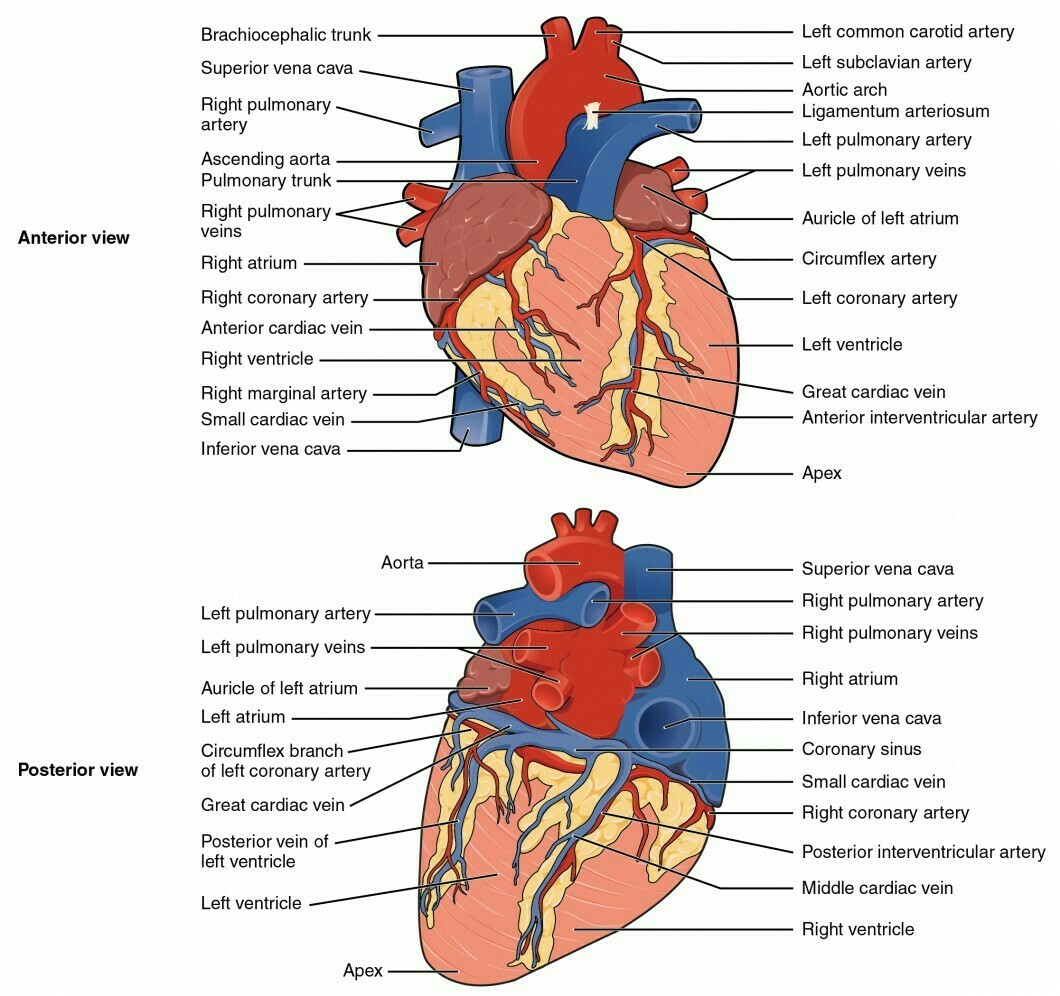 Draw Well Labelled Diagram Of Ventral And Dorsal View Of Heart