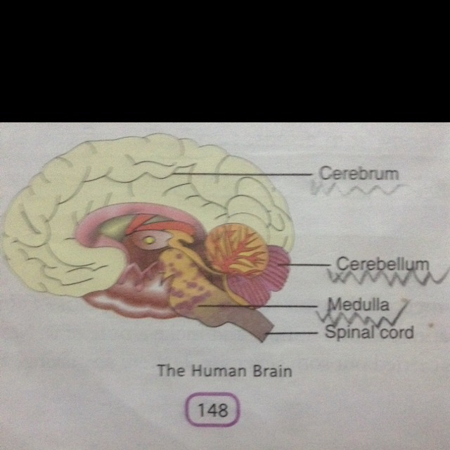 Draw a neat diagram of human brain and label medula and ...