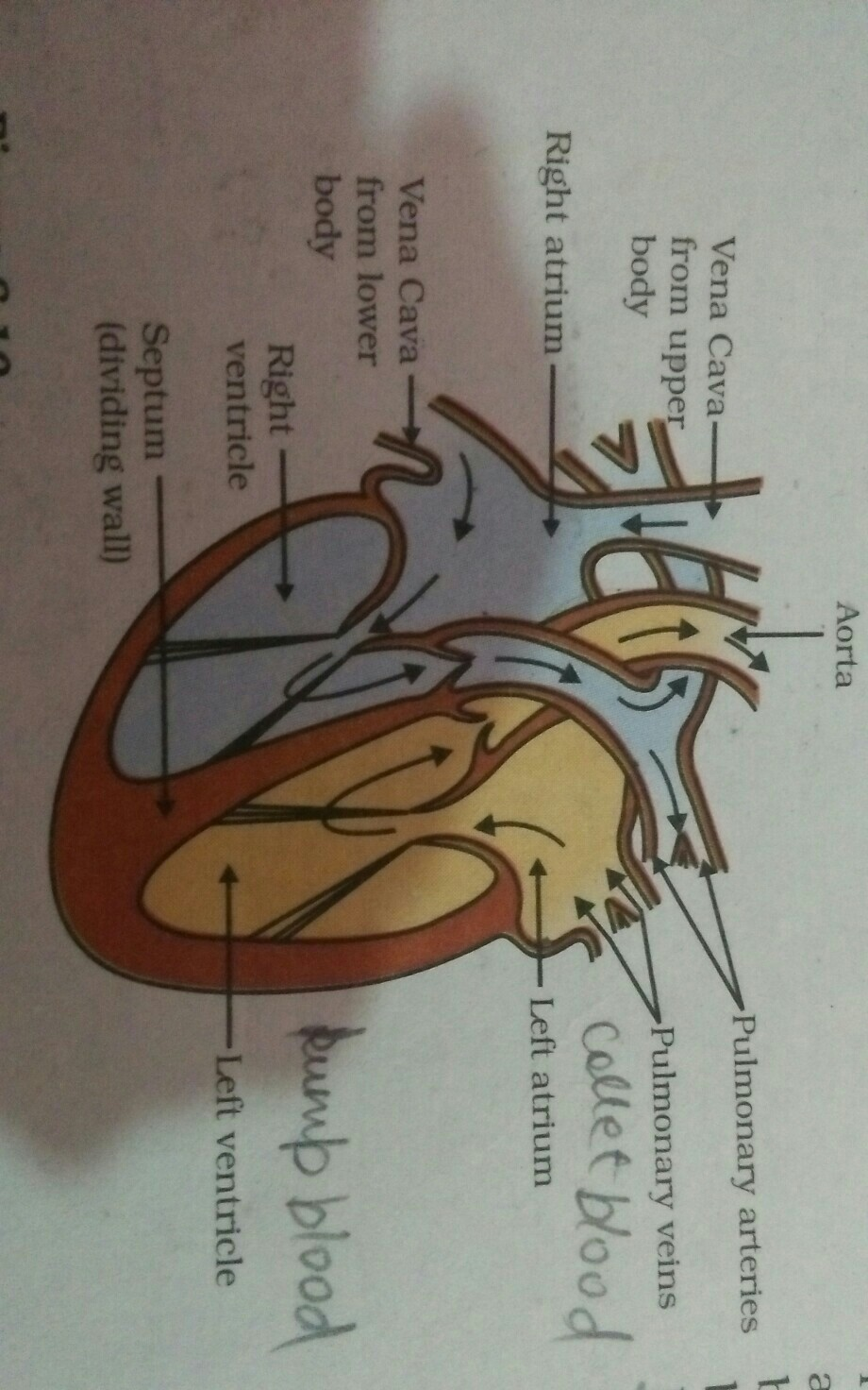 Explain the function of human heart qith diagram for class ...