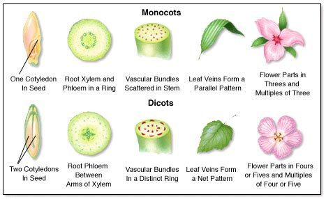 monacot and dicot seeds examples with pictures - Brainly.in 10 Examples Of Monocot Plants