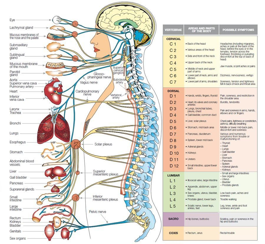 Human body parts and their uses with pics - Brainly in