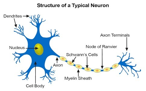 Describe The Structure Of A Neuron With Help Of A Neat Labelled