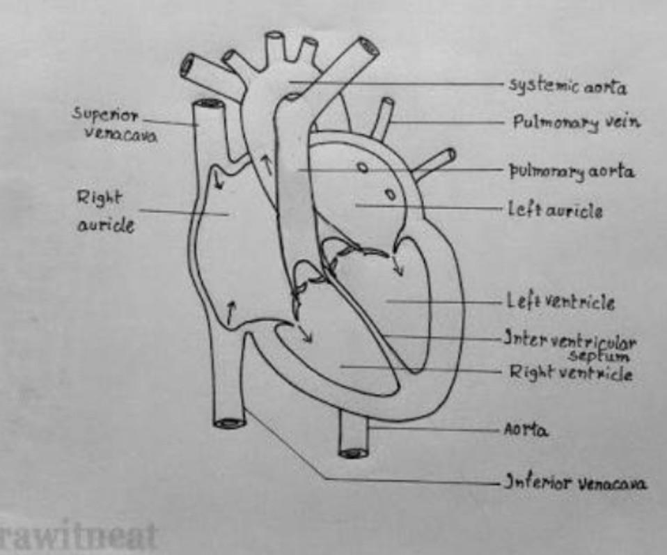Human Heart Diagram Easy To Draw ~ DIAGRAM