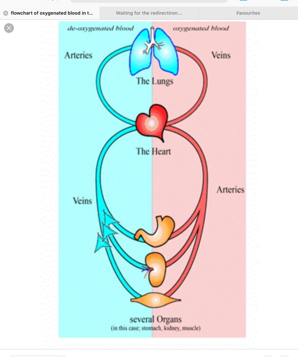 Flow Chart Showinh How Oxygenated Blood Transfer To All The Parts Of