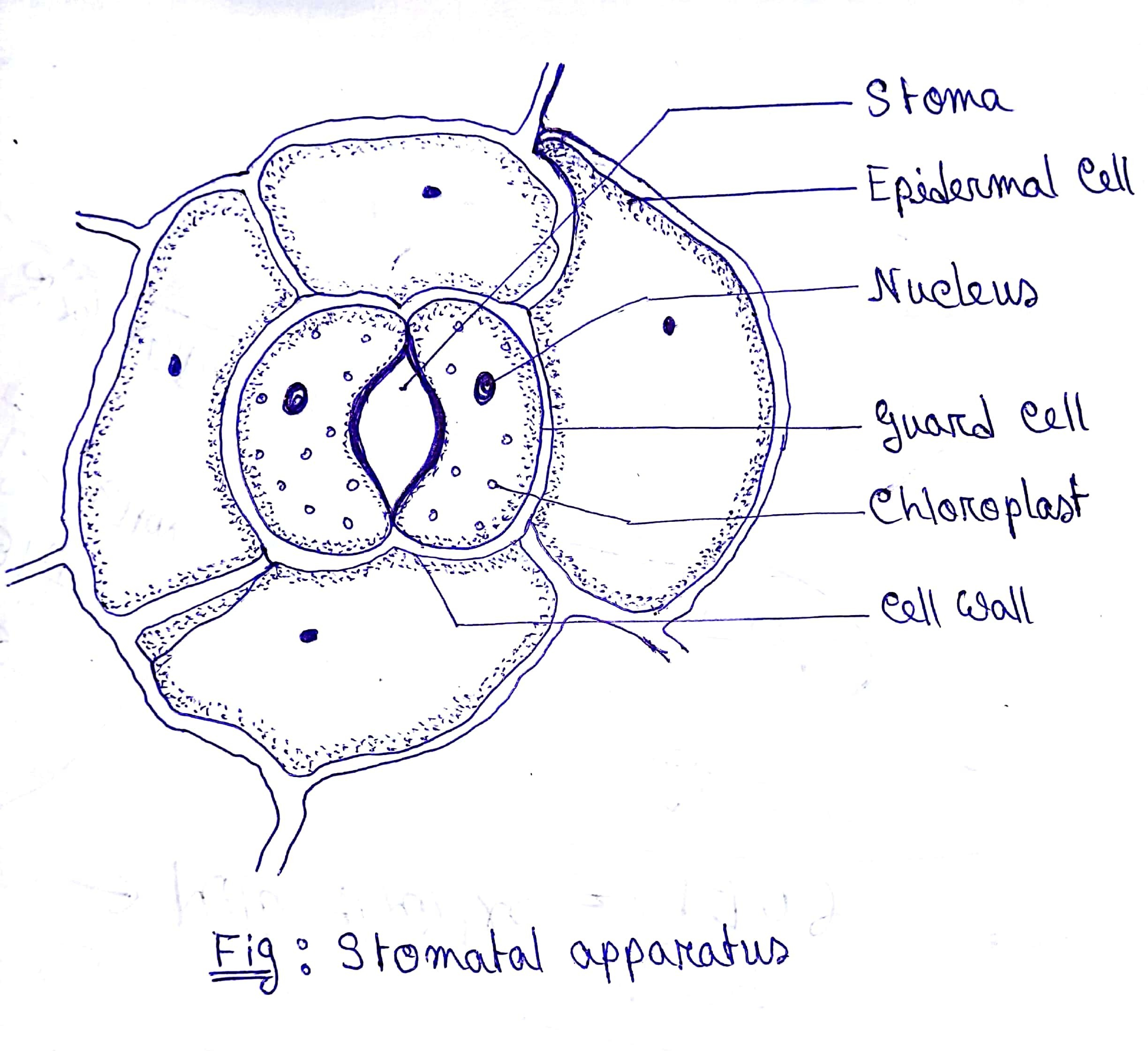 Draw a diagram of stomatal apparatus found in the epidermis