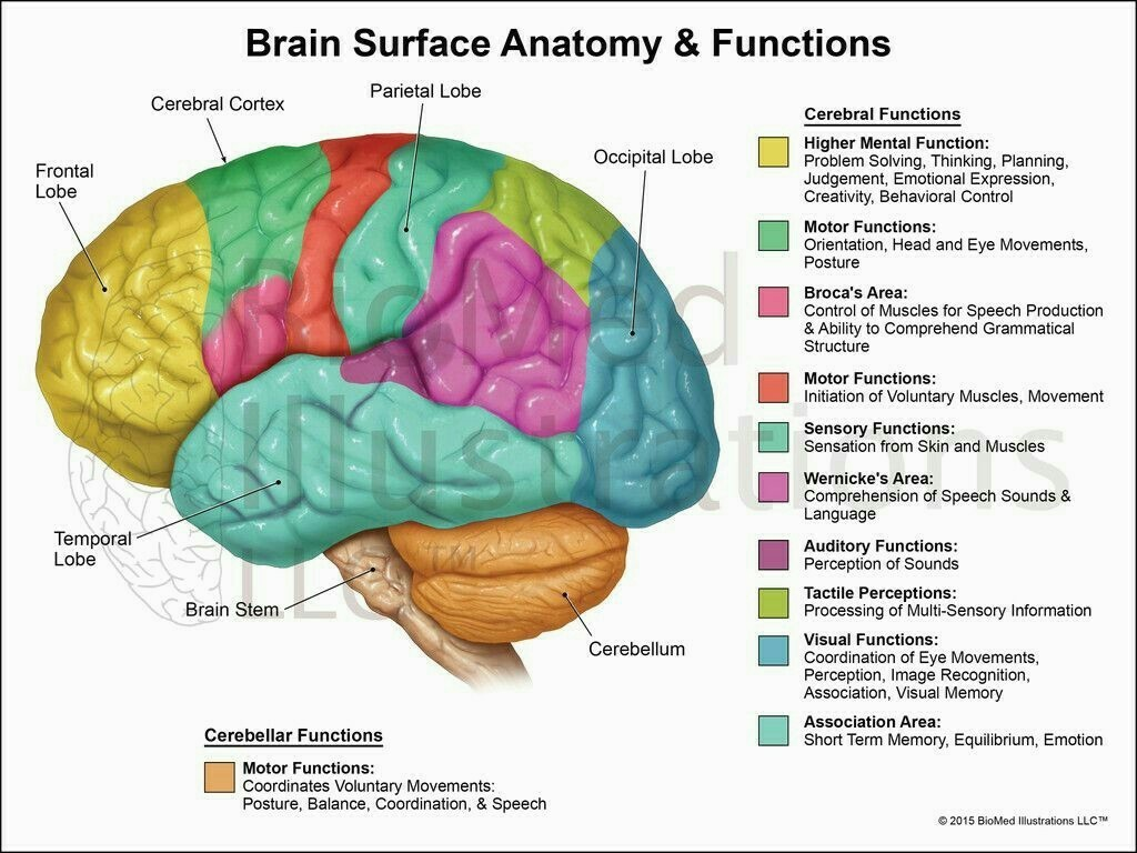 draw neat labelled diagram of functional areas of human brainFunctional Areas Of The Brain Labeled Diagram #9