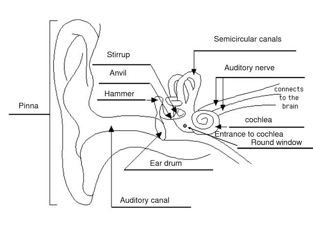 Diagram showing structure of human ear brainly download jpg ccuart Choice Image