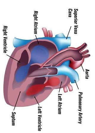 Explain the working of human heart with diagram for class ...