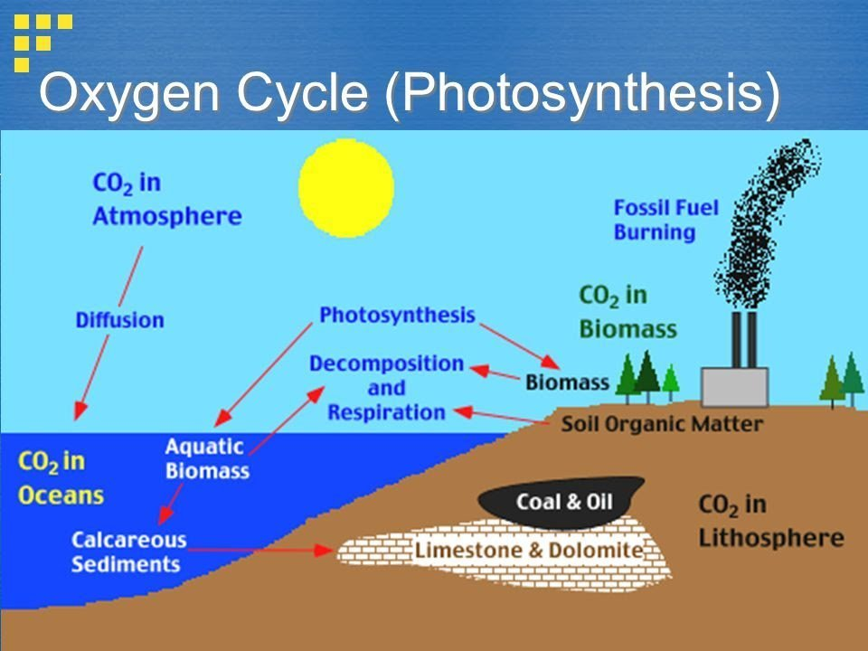 Oxygen Cycle With Diagram Brainly
