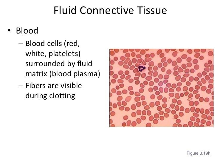 fluid connective tissue class 9