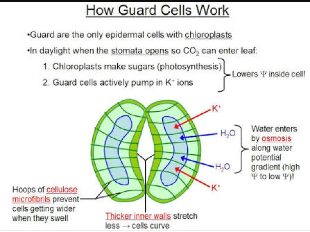 Diagram Of Guard Cells Wiring And Ebooks A Cell Structure Draw To Show Open Stomatal Pore Label On It 1 Rh Brainly In Leaves
