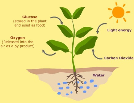 Photosynthesis plant diagram electrical work wiring diagram what is photosynthesis explain with diagram brainly in rh brainly in photosynthesis diagram project photosynthesis diagram ccuart Choice Image