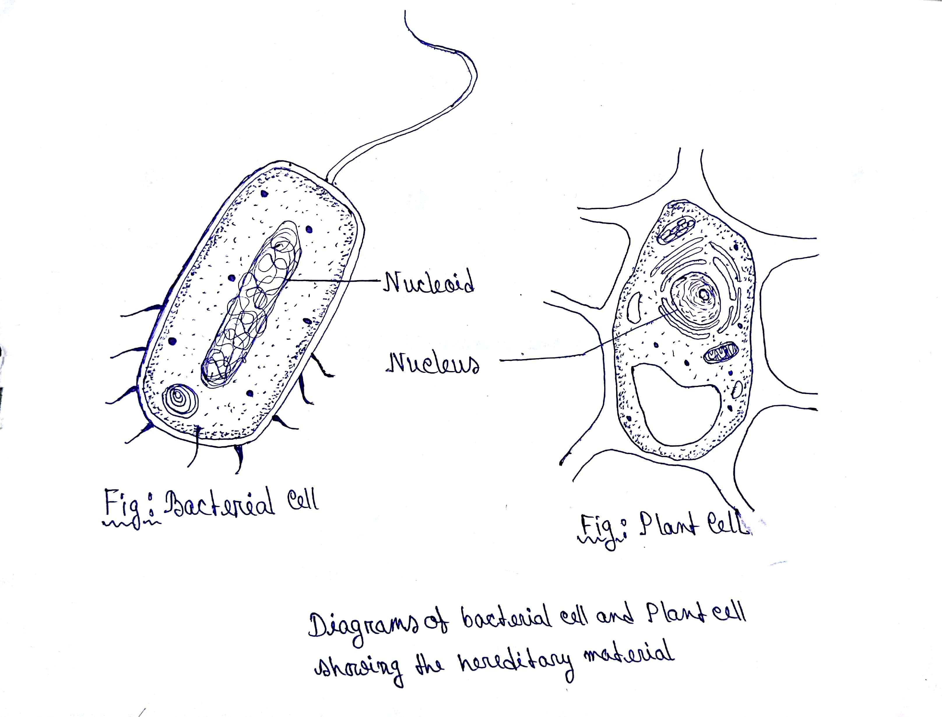 Draw outline diagrams of a bacterial cell and a plant cell ...