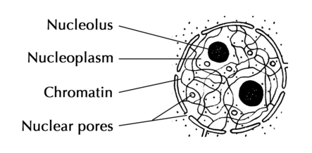 Draw a well labelled diagram of nucleus of class 12 ...