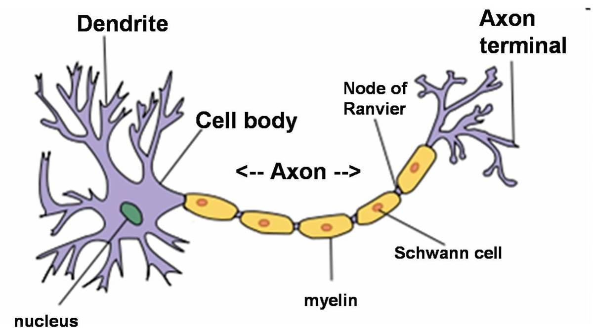 Draw a neat and labelled diagram of neuron cell electrical work draw a neatly labelled diagram of a neuron brainly in rh brainly in ccuart Choice Image